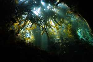 Captivated by the kelp forest